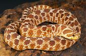 picture of venom  - Hognose snakes are medium sized rear fanged venomous snakes found across the United States up to Mexico - JPG