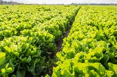 picture of endive  - Large field with long rows of Endive or Cichorium endivia plants in low afternoon sunlight - JPG