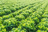 image of endive  - Large field with Endive or Cichorium endivia plants in low afternoon sunlight at a vegetable nursery - JPG