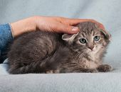 picture of blue tabby  - Fluffy tabby kitten with ears laid back lies on blue background - JPG