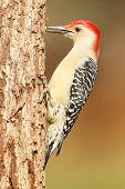 foto of woodpecker  - Male Red - JPG