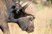 picture of cape buffalo  - Portrait of a Cape buffalo in the Mokala National Park in South Africa - JPG