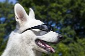 picture of swiss shepherd dog  - White Swiss Shepherd portrait over blue sky background - JPG