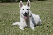 picture of swiss shepherd dog  - White Swiss Shepherd is laying on the grass - JPG