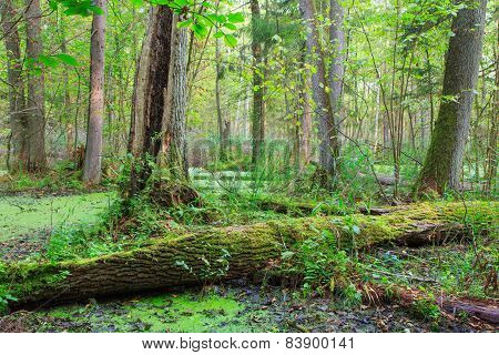 Natural Stand Of Bialowieza Forest With Standing Water