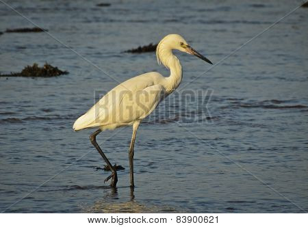 Great White Egret dining in the morning