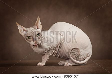 Don Sphinx Cat In Studio