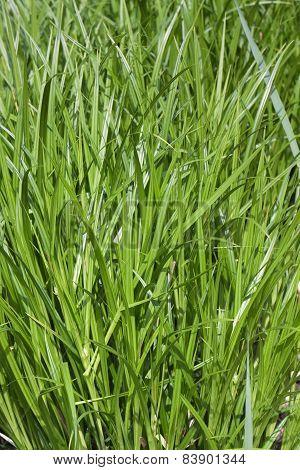 Untreated Grass