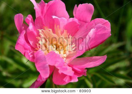 Peonía rosa y blanco