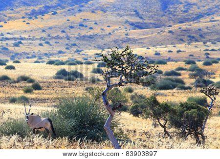 Gemsbok Oryx in Damaraland