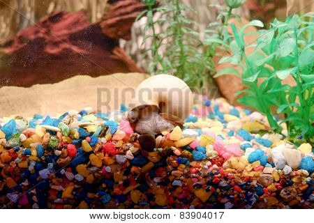 Snail in the fish tank over colorful gravel.