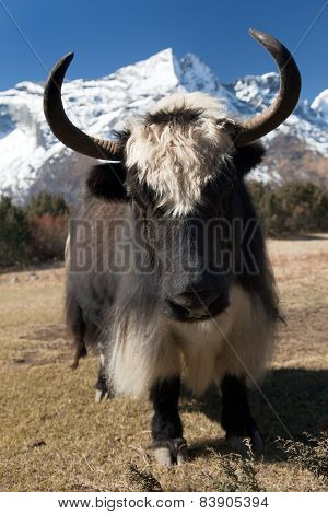 Yaks On The Way To Everest Base Camp - Nepal