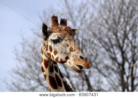 Closeup of giraffe head