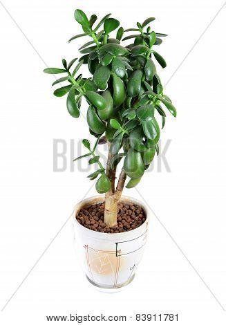 Dollar Plant Or Money Tree