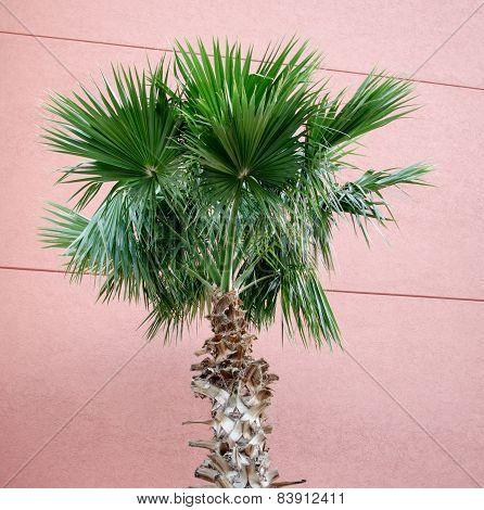 Classic Florida Palm Tree