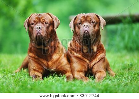 Two Brown Bordeaux Mastiffs