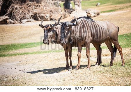 Couple Of Wildebeest Standing On The Ground
