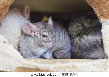 Chinchilla Groups Sleeping In Hole.