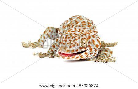 Tokay Gecko On White Background
