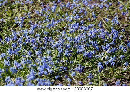 Lawn With Small Blue Flowers