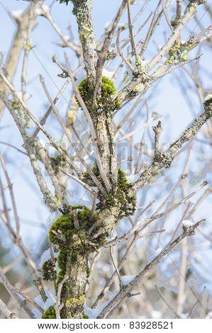 Closeup Of Moss On A Bare Tree