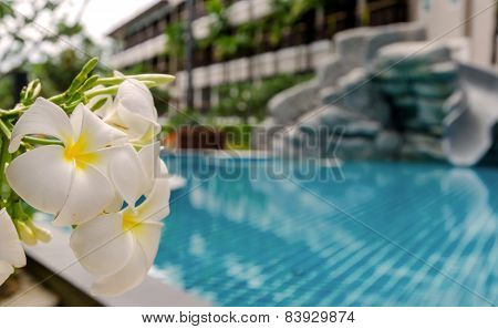 White Frangipani Flowers Blooming With Swimming Pool
