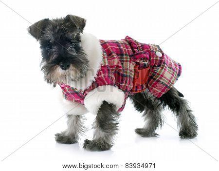 Dressed Puppy Miniature Schnauzer