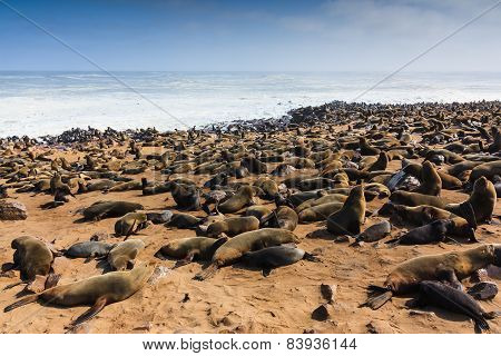 Cape Fur Seal Gathering Beach Cape Cross