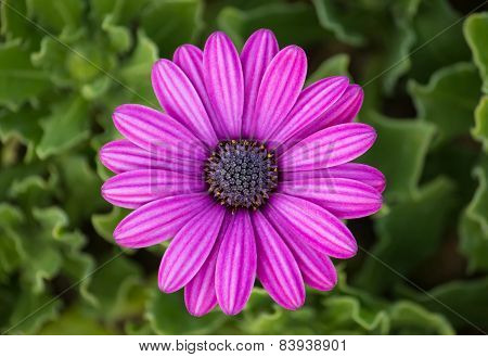 Purple Osteospermum Daisy Flower