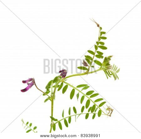 Vicia Benghalensis