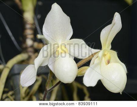 Paphiopedilum Deperle Hybrid Orchid