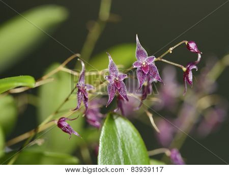 Star-bearing Inflorescence Lepanthopsis Orchid