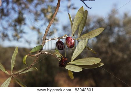 Diseases Affected Olive Trees