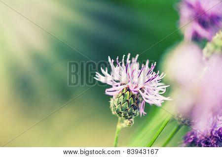 Pink Flower Of Greater Burdock