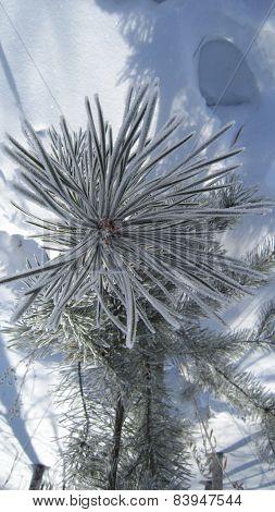 Frosty pine-tree