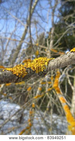 Lichen on the twig