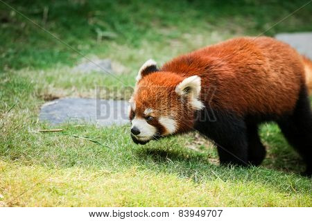 Red panda walking on grass