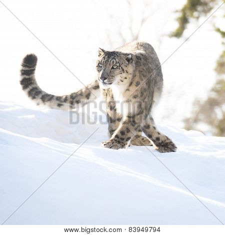 Snow Leopard In The Winter