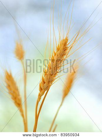 Yellow Grain