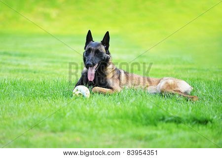 Dog Belgian Malinois