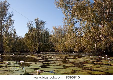 Mangrove Forest In Water With Lotus Flowers