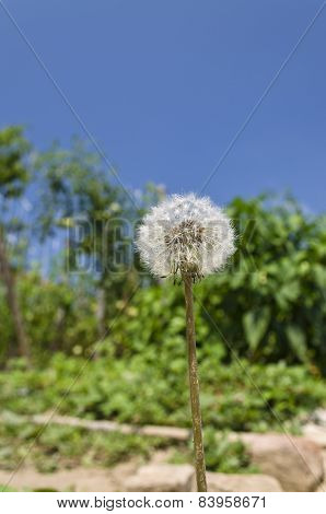 Sunny Day With Shiny Shaggy Dandelion In The Garden