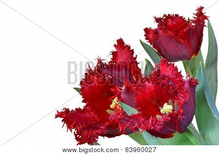 Red Fringed Tulip Bouquet Isolated