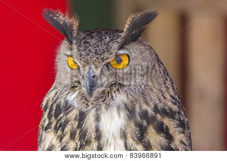 The Eurasian Eagle-owl (bubo Bubo)