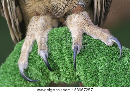 The Eurasian Eagle-owl Claws (bubo Bubo)