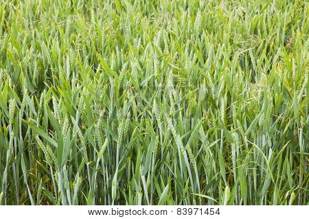 Barley Growing In Yorkshire Field