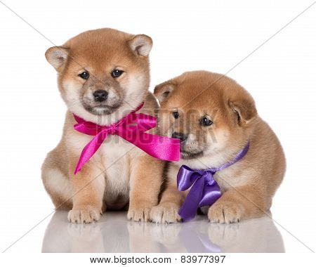 two adorable shiba inu puppies with ribbons