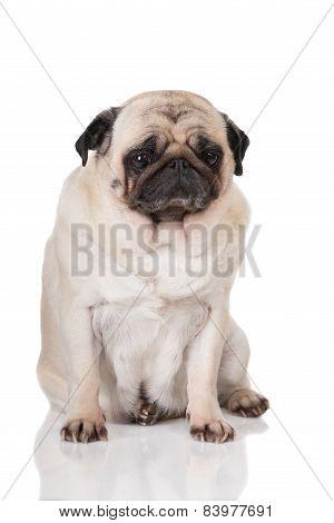 sad pug sitting on white