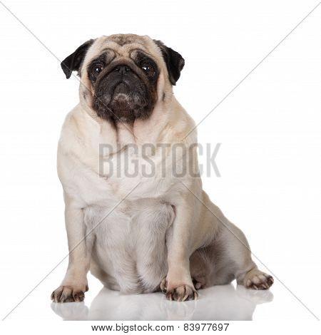 adorable old pug dog