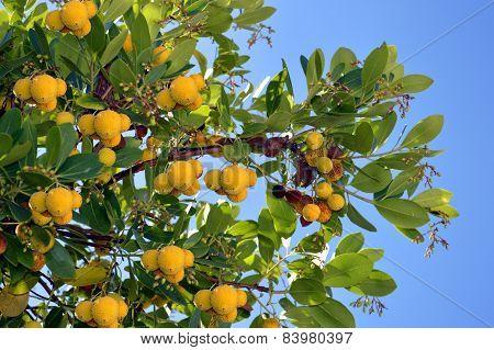 Strawberry Tree Latin name Arbutus unedo